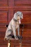 Weimaraner del perro Fotos de archivo libres de regalías