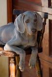 Weimaraner do cão Fotos de Stock Royalty Free