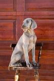 Weimaraner do cão Fotografia de Stock Royalty Free