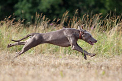 Weimaraner dog. Running through field Royalty Free Stock Image