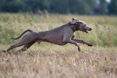 Weimaraner dog. Run in field Stock Photography