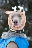 Weimaraner dog. In deer knitting hat Stock Image