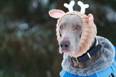 Weimaraner dog. In deer knitting hat Royalty Free Stock Images