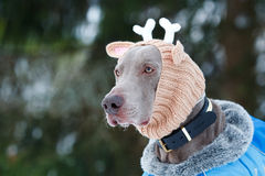 Weimaraner dog. In deer knitting hat Royalty Free Stock Photos