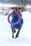 Weimaraner dog. Runs and plays on the snow field Royalty Free Stock Photography