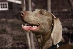 Weimaraner dog. A young female weimaraner dog Royalty Free Stock Photos