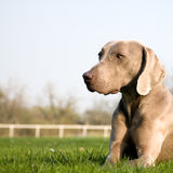 Weimaraner dog. Close up of Weimaraner dog lying in countryside field Stock Photography