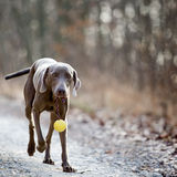Weimaraner dog with a ball Stock Photography