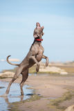 Weimaraner dog on the beach Stock Photography