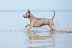 Weimaraner dog on the beach Stock Photo