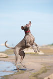 Weimaraner dog on the beach Royalty Free Stock Photography
