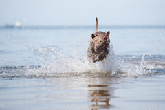 Weimaraner dog on the beach Royalty Free Stock Images