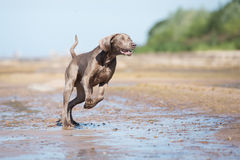 Weimaraner dog on the beach Royalty Free Stock Photos