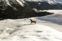 A weimaraner dog in the beautiful snow covered landscape and mountains in the alps switzerland Stock Photo
