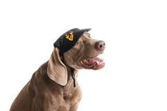 Weimaraner dog breed with hat Royalty Free Stock Images