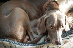 Weimaraner dog breed Royalty Free Stock Image