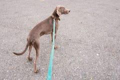 Weimaraner dog breed Royalty Free Stock Photo