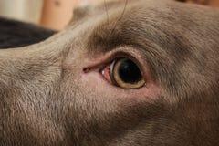 Weimaraner dog breed Stock Image