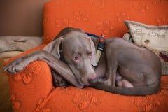 Weimaraner dog breed Stock Photography