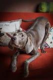 Weimaraner dog breed Stock Photos