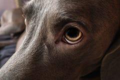Weimaraner dog breed Royalty Free Stock Photography