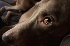 Weimaraner dog breed Royalty Free Stock Images