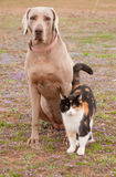 Weimaraner dog and a calico cat in spring grass Royalty Free Stock Image