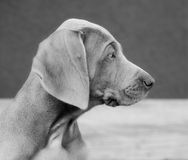 Weimaraner dog Stock Photo