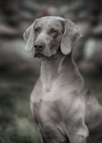 Weimaraner dog.  Closeup portrait Stock Images