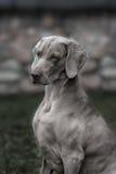 Weimaraner dog.  Closeup portrait Royalty Free Stock Photos