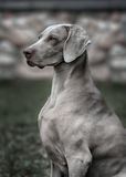 Weimaraner dog.  Closeup portrait Stock Photos