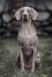 Weimaraner dog.  Closeup portrait Royalty Free Stock Image