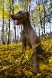 Weimaraner dog in countryside stock photos
