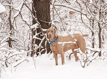 Weimaraner dog in deep snow Stock Photo