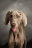 Weimaraner dog facing camera on grey background. Grey weimaraner dog on grey background, straight on view, with mouth open, seems to be smiling Royalty Free Stock Image