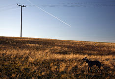 Weimaraner dog on a field Stock Images