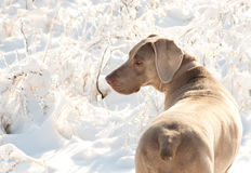 Weimaraner dog in a frozen, snowy winter world Royalty Free Stock Images