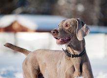 Weimaraner dog in a frozen, snowy winter world on a cold, sunny Royalty Free Stock Photos