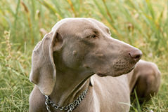Weimaraner Dog on the Grass Stock Images