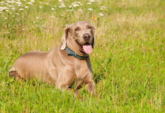 Weimaraner dog in grass Stock Photography