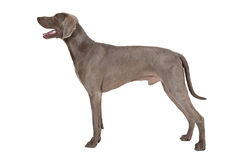 Weimaraner dog in his typical pose Stock Photography