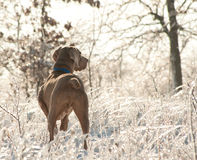 Weimaraner dog in an icy, glittering world Royalty Free Stock Photo