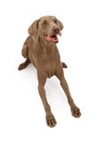 Weimaraner Dog Laying Down royalty free stock photography