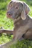 Weimaraner Dog Laying on Grass in Sunshine Stock Image