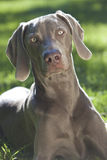 Weimaraner Dog Laying on Grass in Sunshine Stock Photos