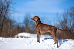 Weimaraner dog. Look to the forest Stock Photos