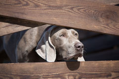 Weimaraner dog looking through fence Royalty Free Stock Images