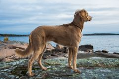 A Weimaraner dog looking out over a lake royalty free stock photo