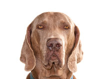 Weimaraner dog looking straight at the viewer Stock Images