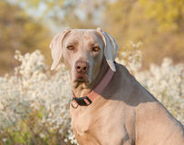 Weimaraner dog looking at the viewer Royalty Free Stock Images